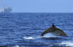 Delphinus Leap (ScottS101) Tags: california mammal marine dolphin platform delphi dolphins oil allrightsreserved delphinus cetacean copyright2008scottsansenbach copyrightscottsansenbach