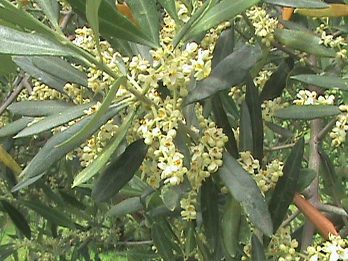Olive Nation