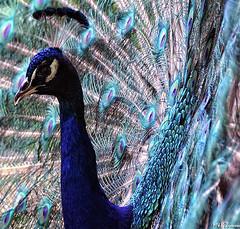 as proud as a peacock (Magda'70) Tags: nikon july poland polska peacock warsaw 2008 warszawa birdwatcher d300 lazienki lipiec aplusphoto zymon mojawarszawa