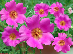 Moss Rose (Portulaca grandiflora) (Photo Plus 1 (Kamran Ahmed)) Tags: pakistan flower rose 1 photo plus grandiflora kamran karachi ahmed a2z portulaca naturesfinest supershot portulacagrandiflora colourartaward natureselegantshots