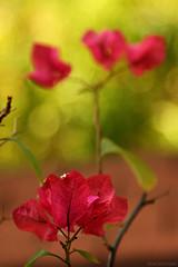 kembang kertas (M3R) Tags: pink flower canon indonesia bokeh bougainvillea northsulawesi manado bunaken santika canonef24105mmf4lisusm 400d photofaceoffwinner mariaismawi kembangkertas
