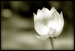 Lotus Blossom Petals (` Toshio ') Tags: blackandwhite bw flower ir washingtondc dc washington petals lotus bokeh blossoms infrared bloom duotone aquatic elegant toshio aquaticgarden lotusblossoms abigfave impressedbeauty aplusphoto