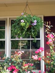 purple hanging basket