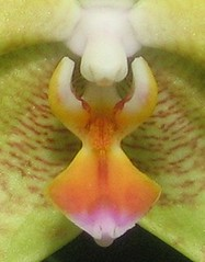 Orchid macro (Mary Faith.) Tags: party summer hot orchid colour macro art nature tongue sex mouth garden fun gold design interestingness erotic celebration spots exotic tropical shape fertility corsage occasion hothouse lure