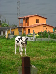 The Cow outside the barn