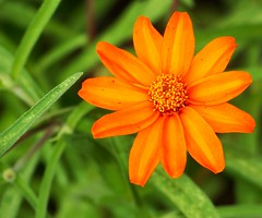 Orange Pedals (Theophilus Photography) Tags: orange flower macro 3f fantasticflower flowerorfoliagedetail flickrsfantasticflowers mimamorflowers flickrsawesomeblossoms orangepedals
