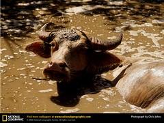water-buffalo-1