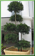 Podocarpus macrophyllus at Wisma Lourdes, Church of Our Lady of Lourdes in Klang, Malaysia