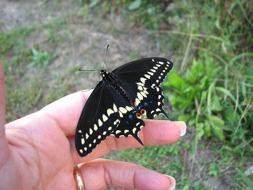 Our first male butterfly