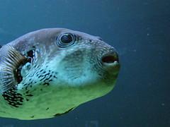 [フリー画像] [動物写真] [魚類] [河豚/フグ] [青色/ブルー]       [フリー素材]