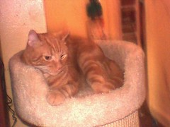 Jupiter in Bed (edenpictures) Tags: cat orangecat perch jupiter catbed scratchingpost takenbyeden kidzoom