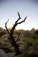 artistic death (Nicola Zuliani) Tags: california usa nature joshuatree albero nizu nicolazuliani nnusa wwwnizuit