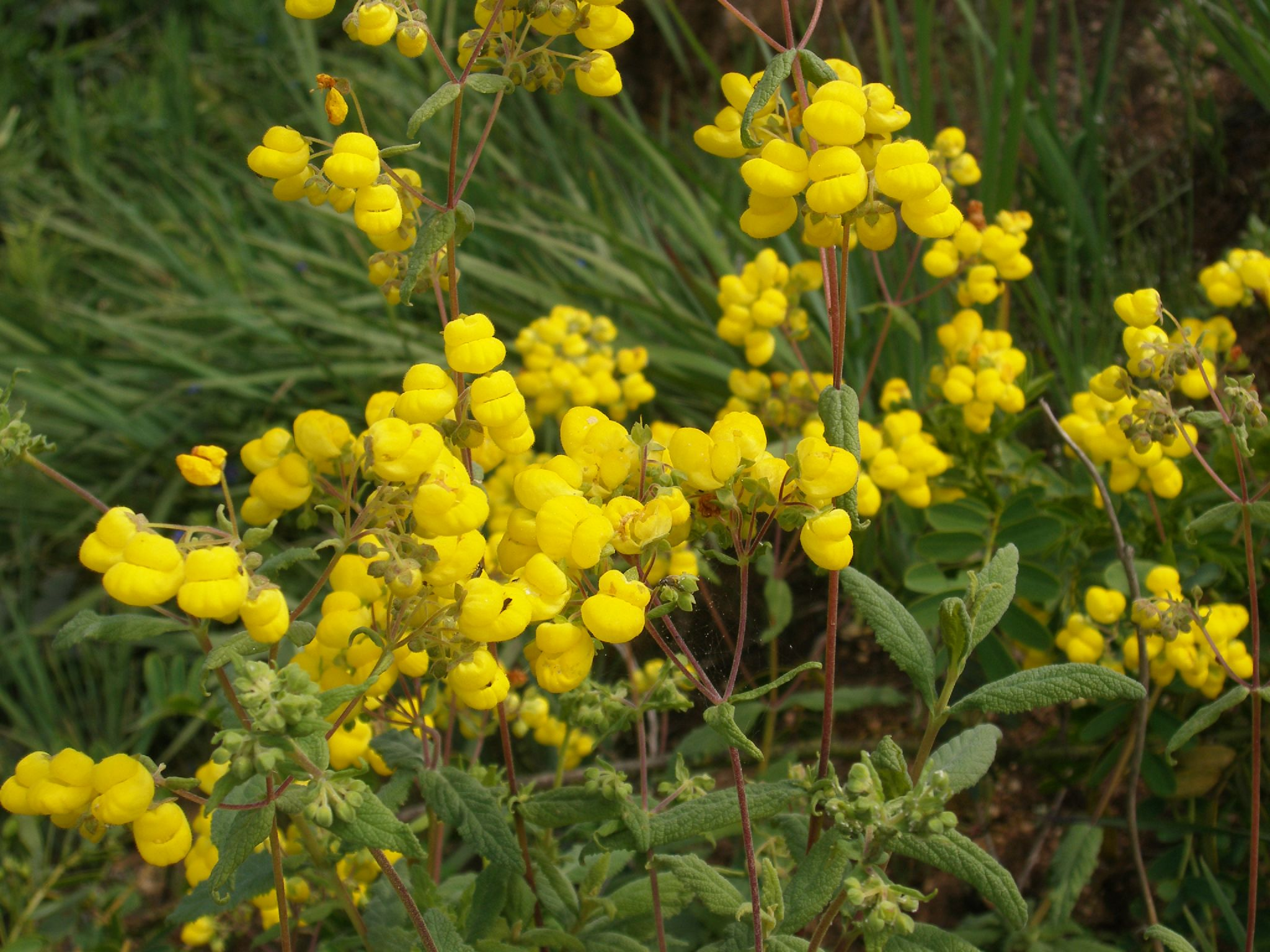 Image of Calceolaria integrifolia