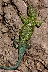 Lagartija (mths_jcb_dnnr) Tags: li lizard lagarto lagartija