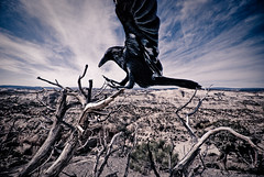 Wild Art - Raven Lands on Dead Juniper Claw