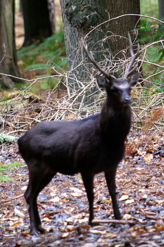 Sika stag on Brownsea Island