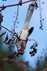 Berry Good! (CCintheSouth) Tags: bird nature berries upsidedown eating wildlife naturesfinest featheryfriday avianexcellence mokingbird slbfeeding thewonderfulworldofbirds