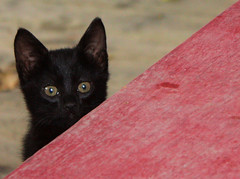 Kitten (A2L) Tags: cat kitten crete heraklion feral pfogold
