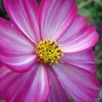 Pink Yellow Flower 5 thumbnail