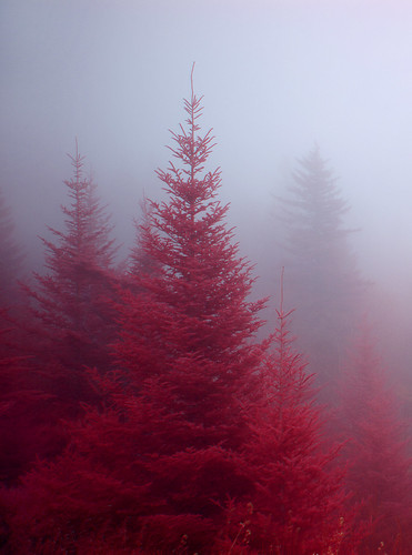 Fog in the Firs