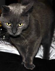 russian walking,...... (D3 Photography) Tags: blue portrait closeup cat grey eyes nikon russianblue d300 18135mm