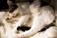 Mipsey Preening Herself (Brenda Kokenos) Tags: cats cat kitty kitties