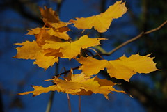 Golden  leaves (dorsetlife58) Tags: blue autumn sky leaves garden gold sycamore