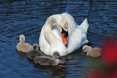 Mute Swans (applejack 327) Tags: cygnets muteswans viera