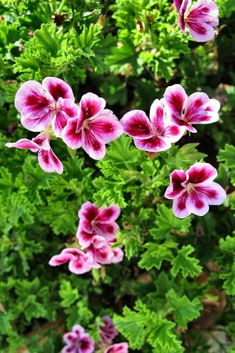 Pelargonium x domesticum (rq) - 01