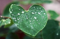 My Heart is Green (La Branĉaro) Tags: macro green film water leaves rain austin garden 1 droplets texas kodak olympus 35mmfilm drought raindrops om waterdrops 2stoppush om1 rainwater 78704 kodakfilm bartonhills raindroplets pushprocessing zuiko50mmmacro kodakektar100 ektar100 zuikomacro ektarpushedto400 ektarpushed raininadrought