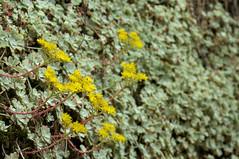 Sedum spathulifolium (Eric Hunt.) Tags: california blue flower yellow succulent crassulaceae sedum pinnaclesnationalmonument stonecrop sedumspathulifolium glaucous broadleafstonecrop inpicasa