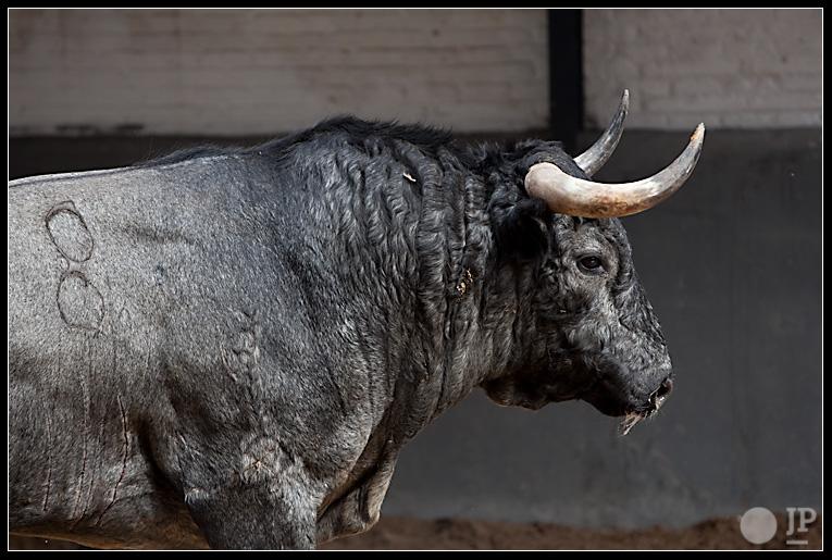 toro-de-Jose-Escolar-5