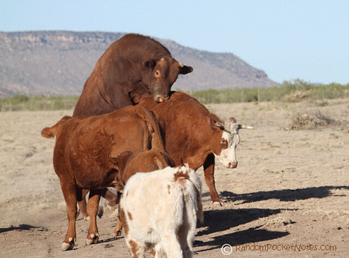 PAM_0123--mama-cow-plays-with-bull