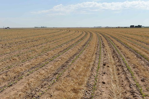 Cotton is planted into wheat stubble on Kitten  Farms in Lubbock, Texas. This is one of many farming operations in the arid Texas High Plains region that utilizes minimum tillage methods to help conserve soil moisture and reduce water use through irrigation systems.