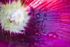 rose tremiere 7 (sylvain.landry) Tags: fleur nature bio vert ecolo ecologie reims herbe canon eos 5d photographes bigfav 5stars art artistic dlsr eos5d day17 day173 day175 flickr flickrstudio studio strobe strobist flash artist dragan autoportrait france travel sky family europe mkii 5dmkii dslr eos5dmkii lomo remois sylvain landry sylvainlandry photo photography photos raw