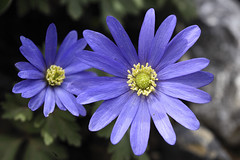 Anemona blanda (Britta's photo world) Tags: blue plant flower spring excellence 60mmf28dmicro ishflickr platinumheartaward qualitypixels llovemypics anemonablanda