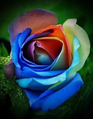 Rosa cuyos pétalos son de color azul, blanco y naranja