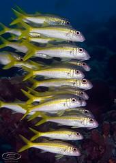 stack9195pcw (gerb) Tags: school fish beautiful yellow topv111 1025fav 510fav wow cool nice topv555 topv333 underwater 500v20f topv1111 topv999 scuba fv5 loveit pi topv777 d200 animalplanet fins bonaire goatfish aquatica naturesfinest indeep 70180mmf4556dmicro pfo tvx photofaceoffwinner pfogold