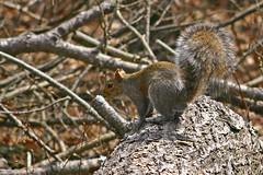 Easter Gray Log hopper (MNesterpics) Tags: nature animal virginia squirrel wildlife va 2008 mountians skylinedrive graysquirrel shenandoahnationalpark snp sciuruscarolinensis easterngraysquirrel