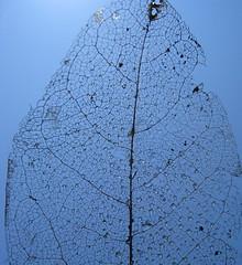 dead leaf (SqueakyMarmot) Tags: blue sky urban macro vancouver dead droplets leaf fieldtrip vandusengardens oily cropped veins neighbourhood southcambie