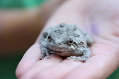 grey tree frog sits