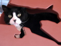cat feline leukemia