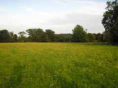 Meadow buttercups at Tablehurst
