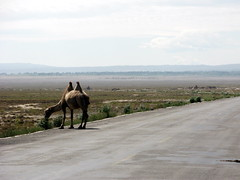 A camel east of Qingshui on National Highway G312 in Gansu Province, China