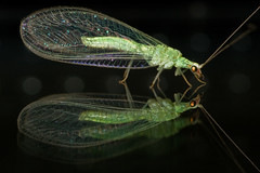 Lacewing reflected