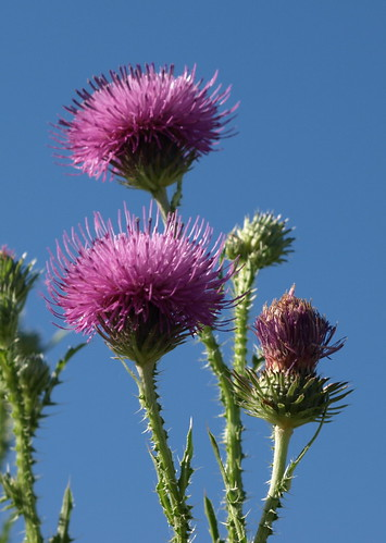 Thistles in the Blue