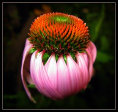 Bad Hair Day (montreal_bunny) Tags: pink flower macro garden explore bokehlicious picturefantastic goldstaraward canona720is jediphotographer