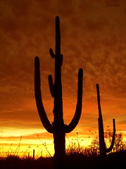 Desert Giants (ScenicSW) Tags: sunset arizona fab sky southwest clouds colorful desert tucson silhouettes saguaro fabulous simple breathtaking saguaronationalpark sonorandesert cloudscapes amazingcolors settingsun saguaros smrgsbord greatphoto desertsunset tucsonarizona desertsouthwest naturesfinest otw arizonasky tucsonmountains arizonasunset topshots desertscape omot arizonastateparks desertsetting skycloudssun hugyourcacti desertbeauty jalalspagesnaturealbum artlegacy elitephotography southwestsunset naturessilhouettes betterthangood southwestsky silhouettephotography thechallengefactory panoramafotogrfico scenicsw southwesternimages naturescreations micarttttworldphotographyawards micartttt artofimages thebestofmimamorsgroups capturethefinest agcgwinner bestcapturesaoi mygearandmepremium mygearandmebronze mygearandmesilver mygearandmegold mygearandmeplatinum aboveandbeyondlevel1