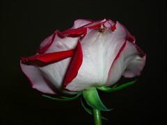 (ccmerino) Tags: flowers roses flower macro nature rose flora macros masterphotos diamondclassphotographer flickrdiamond