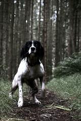 Jess, The Wonder Dog (jessthespringer) Tags: dog mountain nikon kitlens explore pup englishspringerspaniel mournes codown rostrevor d80 thelittledoglaughed asiftosay jessthespringer imoffworkmostmondayssomostmondaysarejessdays shelooksatmewithalonginglookallmorning canwegonowpleeeeeease iwalkhereverydaynotjustmondays slmartin
